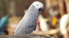African Grey Parrot closeup Stock Footage