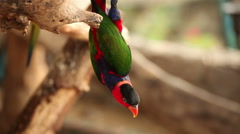 "Black-capped lory, Scientific name ""Lorius lory"" parrot bird Stock Footage"