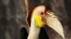 "Wreathed hornbill, Scientific name ""Rhyticeros undulatus"" bird Stock Footage"