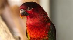 "Lory lorikeet, Scientific name ""Lorius lory"" parrot bird Stock Footage"