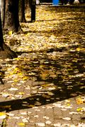 in the picture shows the autumn season with the typical yellow leaves falling - stock photo