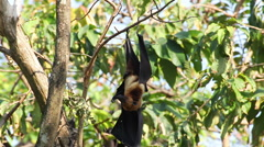 Bat hanging on a tree branch Malayan bat , low-angle of view shot Stock Footage