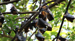 Group of Bat hanging on a tree branch Malayan bat , low-angle of view shot Stock Footage