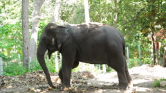 Asian elephant, stand under tree in the forest, tilt down angle shot Stock Footage