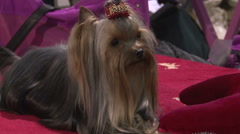 Breed of dog,cute Yorkshire Terrier with red bow lying and wags with tail, Stock Footage