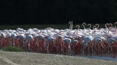 Flamingos in Dubai Stock Footage