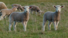 Young Lambs in a Field Looking at the Camera Stock Footage