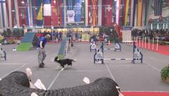 Dog agility,dogs competition in overcoming obstacles,dog race Stock Footage