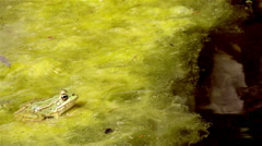 Pond Frog Jump K Stock Footage
