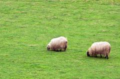 Flock of sheep grazing Stock Photos