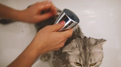 Scottish fold cat bath Stock Footage