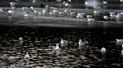 Seagulls at the frozen lake Stock Footage