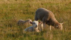 Young Lambs in a Grassy Field Stock Footage
