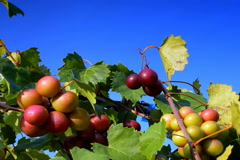 Stock Video Footage of Wine grapes ripen in summer sun
