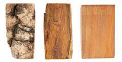the bark and wood of amur velvet - stock photo