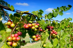 Clusters of wine grapes ripening  in vineyard Stock Footage