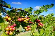 Stock Video Footage of Clusters of wine grapes ripening  in vineyard