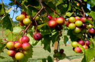 Stock Video Footage of Wine grapes ripening on vine in summer sun