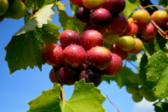 Stock Video Footage of Grapes ripen on vine after rain