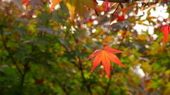 Red maple leaves waving in bright sunlight Stock Footage