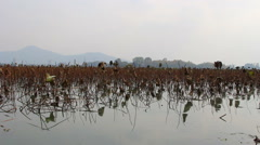 Wilted lotus leaf lake Stock Footage