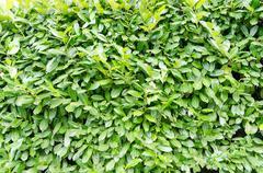 Green laurel bush background full of leaves Stock Photos