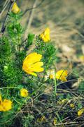 Yellow adonis flower in nature Stock Photos