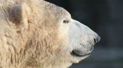 Close up of ice bear Stock Footage