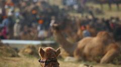 Camel Fair Stock Footage