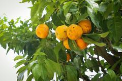 Lemon tree with yellow lemons Stock Photos