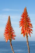 Aloe vera blooms Stock Photos