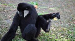 White Cheeked Gibbon or Lar Gibbon on the ground Stock Footage