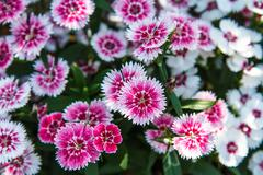 dianthus chinensis in garden - stock photo