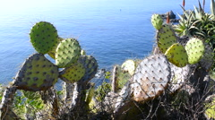 Prickly pear cactus Stock Footage