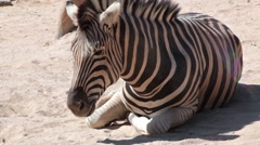 Common Zebra, lay down and relax on the ground, closeup Stock Footage