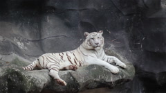 White bengal tiger, lying, relax, and watching on cliff Stock Footage