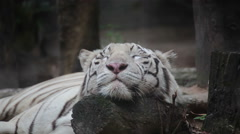 White bengal tiger is sleeping, and relax on timber under tree Stock Footage
