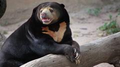 """Malayan Sun Bear or Honey Bear, science names """"Helarctos malayanus"""" Stock Footage"""