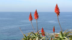 Aloe Vera blooms - stock footage