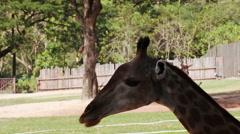 "Giraffe, ""Giraffa camelopardalis"" close up head Stock Footage"