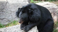 Asiatic black bear or Tibetan black bear laying down and relax on timber Stock Footage