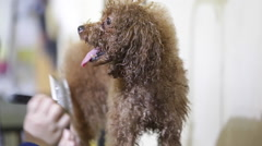 lady grooms a three-year-old poodle - stock footage