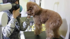Lady grooms a three-year-old poodle Stock Footage