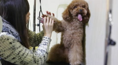 person trimming toenails of a three-year-old poodle - stock footage