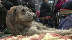 Irish wolfhound lying on the blancket and raise head,low angle view Stock Footage