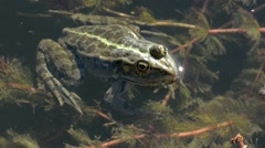 Frog Lies Still in Water While Other Frogs Croak.mp4 Stock Footage