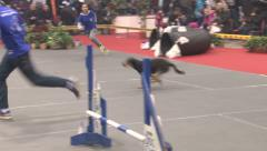 Dog agility,mixed breed contest,race with hardles,tracking shot Stock Footage