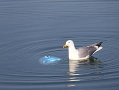 Stock Photo of great  gull on the sea near a bag of rubbish