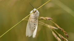 White butterfly moth clinging to grass Stock Footage