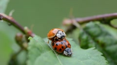 Ladybugs mating on leaves in the garden Stock Footage
